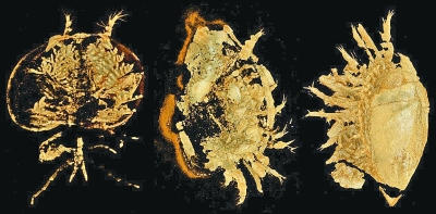 中英科学家揭示寒武纪早期节肢动物多样面目