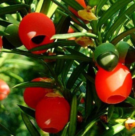 红豆杉怎么样?简单几招,叶子茂盛,枝干粗壮,红果果挂满枝头!