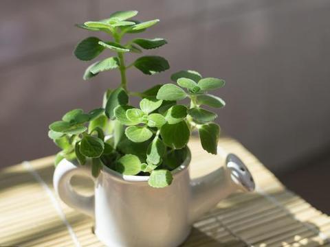 碰碰香盆栽你见过吗?家里养这绿植,就像装了空气净化器