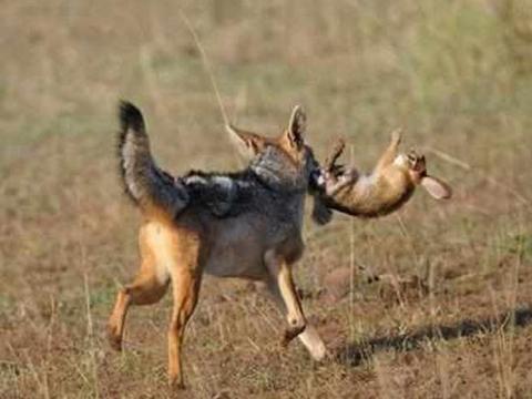 胡狼为一家老小捕猎,捉到野兔还没舍得吃,半路竟杀出一个程咬金