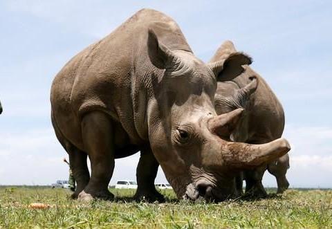 死而复生!2个北白犀胚胎成功复育,南方白犀牛当代理孕母