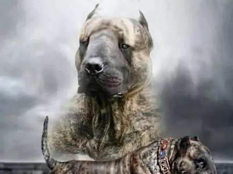 饱受世界争议的猛犬——神兽子弹犬