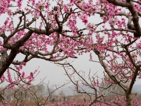 万亩桃花开:藏在济南市区边上的桃花源,这儿还有条桃花大道