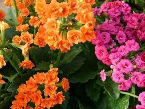 园艺技巧:想把长寿花养好,注意这5点,生长茂盛还能爆盆!