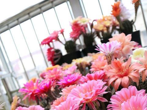 """此款花朵""""了不起"""",秋天上盆,冬天花朵""""爆盆"""",比还牡丹美"""