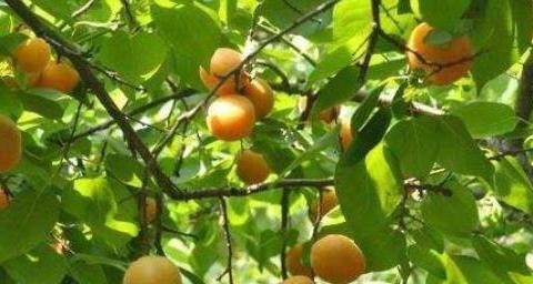 杏树苗怎么培养种植?想要取得优质高产,种植技术要点有哪些?