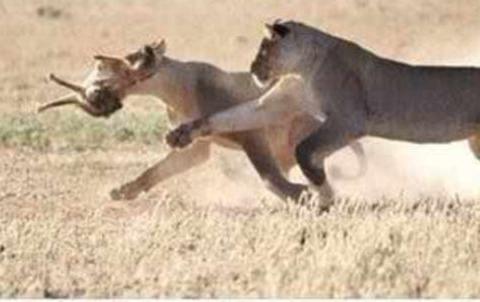胡狼误入狮子的领地,遭狮子撕裂后抛尸,可怜没能活着出来!