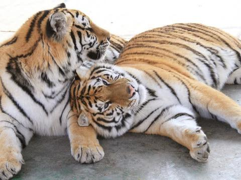 棕熊体型比东北虎还高大威猛,为什么棕熊却总沦为东北虎的猎物?