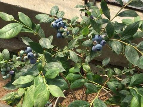 """家庭养蓝莓,一个""""关键点"""",果子挂满枝,又大又甜,不要错过"""