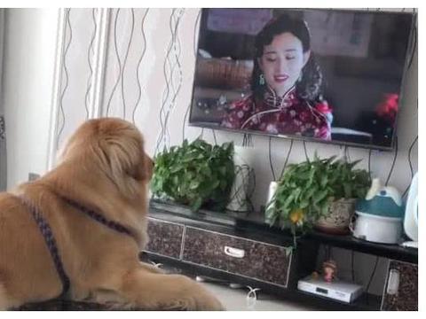 金毛对电视特别的执着,只要电视开着,无论干啥立马跑过来看电视