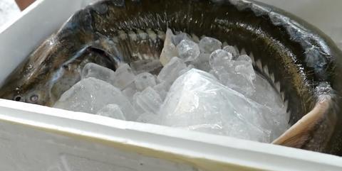 鲟鱼不仅能产鱼子酱,做成菜后也特别好吃,肉比豆腐嫩,鱼刺还少