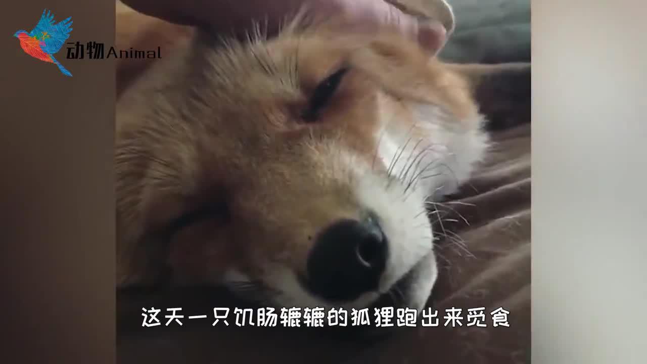 狐狸被困轮胎濒临死亡,得到老爷爷救助,狐狸表现让人意外
