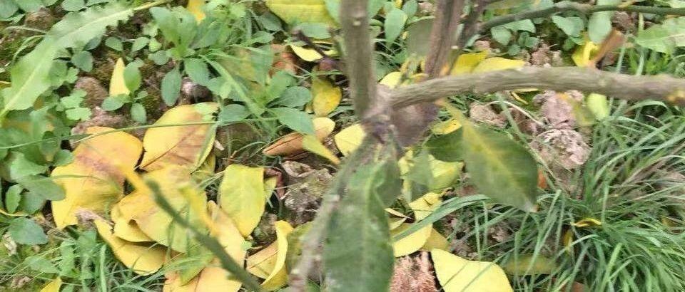 幼龄果树的五种常见死法!