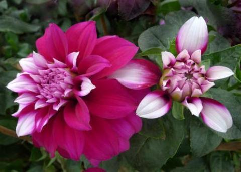 养花就养大丽花,花大色艳,四季开花不断,一盆繁殖多盆,内敛美