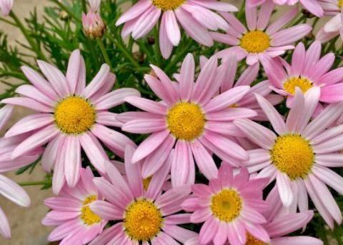 家里养花就选此款,仙气十足,花朵粉嫩丰腴,娇憨可爱