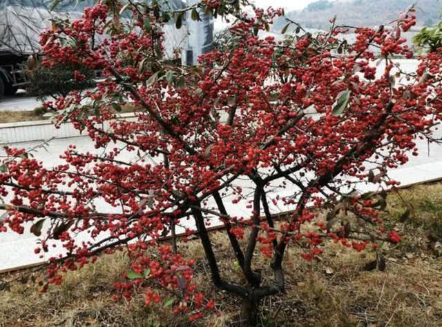 """它在山上像""""杂草"""",殊不知是果树,1棵挂果""""90个"""",美"""