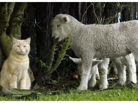 """胖橘常年跟羊群混在一起,不仅没被排斥,还霸气成为了""""羊老大"""""""