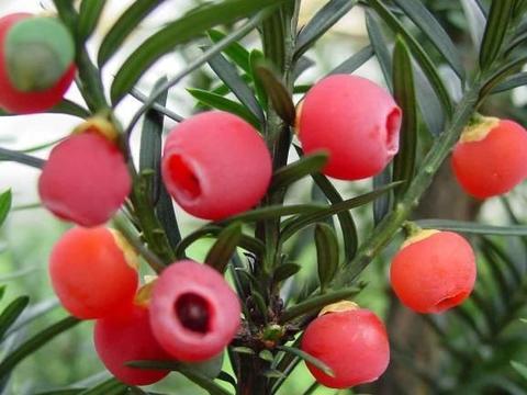北方红豆杉如何养殖?