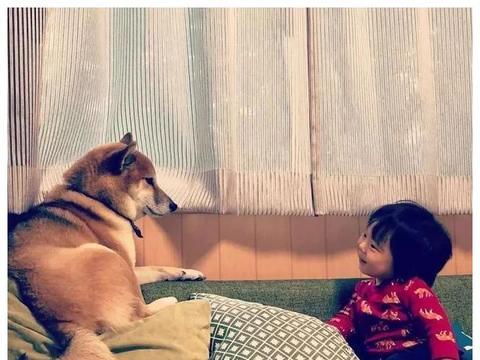 日本一柴犬家添了一个小主人后,它就像大哥一样开始无限宠溺