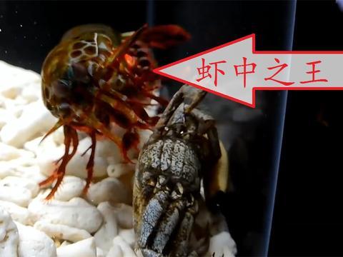 该虾冲击力120斤,你家鱼缸钢化的吗?不然会被敲成渣