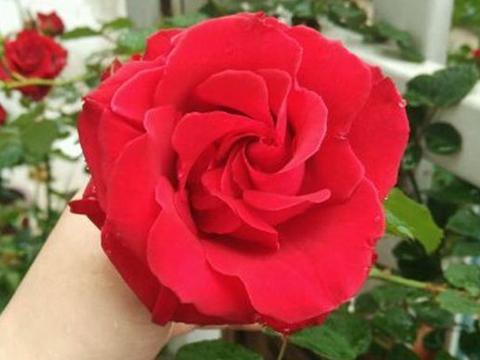 喜欢月季,一定养盆珍品月季读书台,常年开花,花色艳丽,非常美