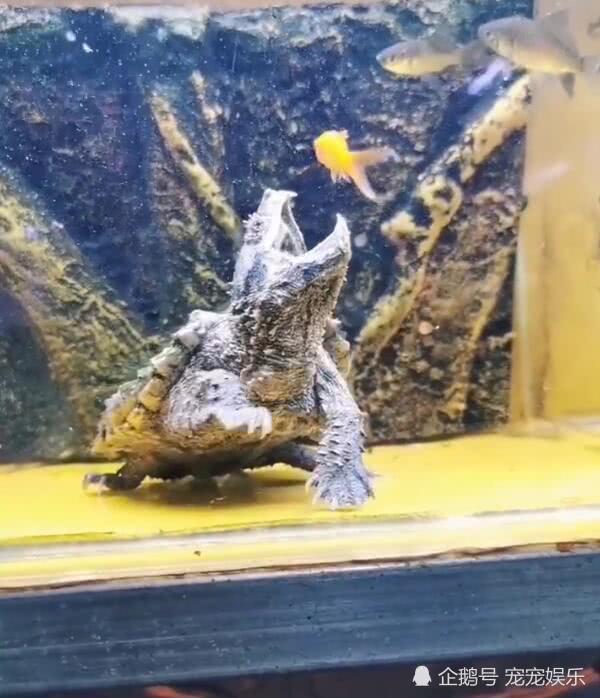 乌龟想偷袭吃鱼,张开大嘴等候时机,结果却失算了