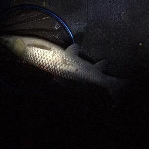 水库夜钓一晚上,钓获两条大草鱼,可我却不满足,是太贪心了?