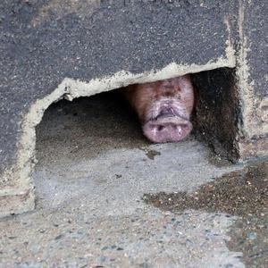 韩国确认出现非洲猪瘟疫情 禁止运输扑杀4000头猪「组图」