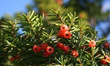 新入盆的红豆杉如何养护?