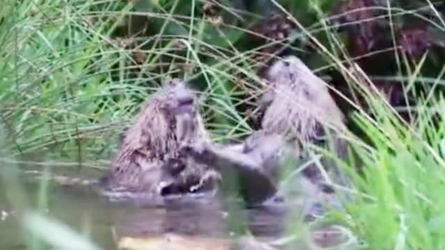 """""""它扒拉我!""""苏格兰两只海狸河中搏斗 画面可爱搞笑"""