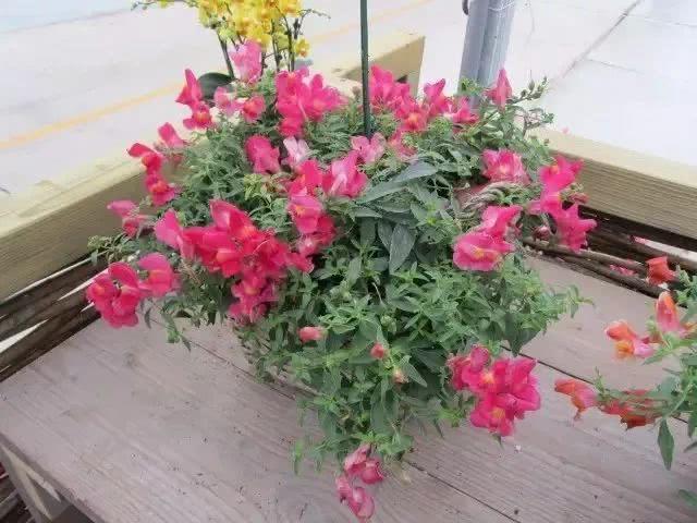 适合养室内的几种开花盆栽,养窗边每天给点散射光,就能经常开花