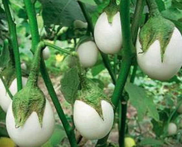 它叫蛋不是蛋,却是树上的农作物,市面上一斤50还难买到