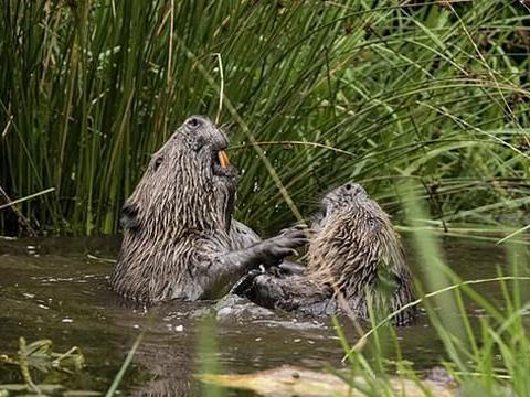 苏格兰两只海狸河中扭打搏斗 画面可爱搞笑