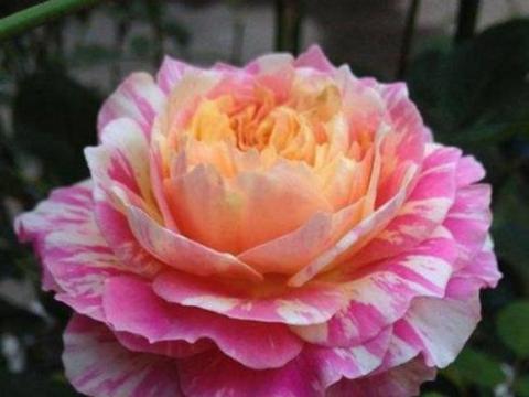 """喜欢月季,不如养花中之王""""法国莫奈"""",全年开花不断,花香浓郁"""