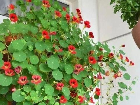 """生命力超强的""""1种花"""",这么养护一下,2个月就能爬满围墙"""
