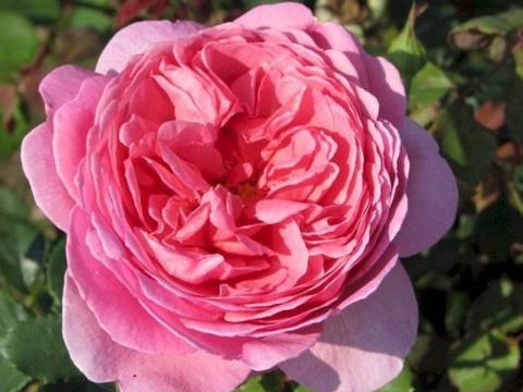 """家养月季,不如养盆""""肯特公主"""",花美媲美玫瑰,花香飘四溢"""