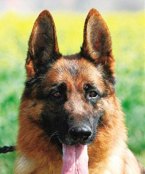 德国牧羊犬都害怕什么东西呢?很多人肯定都很好奇