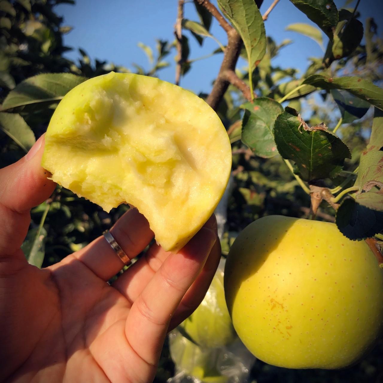 5年好评!万人追捧的传统黄金帅苹果!颗颗香浓多汁!