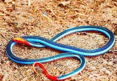 百毒不侵专吃毒蛇的蛇,没几个人见过它的真容