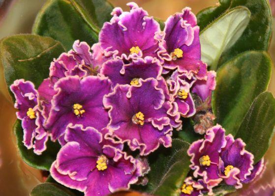"""家里养花,不妨养盆非洲紫罗兰,花期长花量大,堪称""""开花机器"""""""