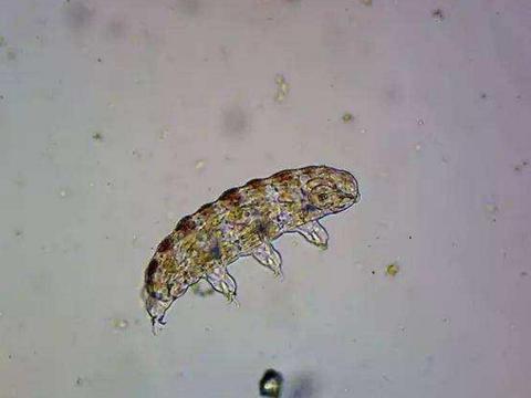 水熊虫被遗留在月球上,作为地表最强生物,它能活下来吗?