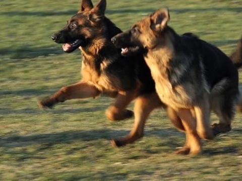 德牧、东德、马犬和昆明犬,相互比较,看家护院你会选择什么呢?