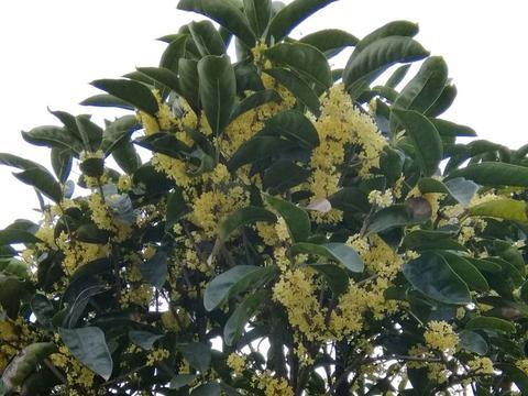 值得养护的两个桂花品种,开花浓香易爆盆,一年可以连续开三茬花