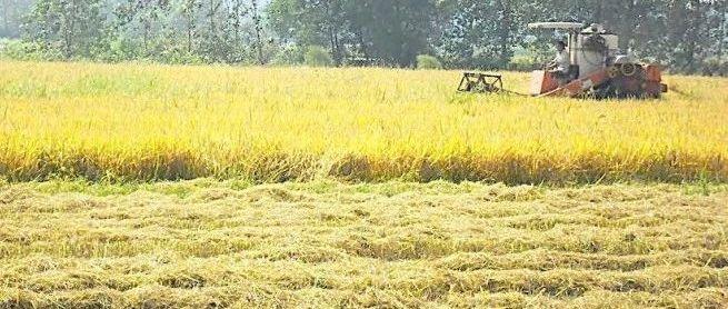 三农服务热线|虾稻共种田高效高产的秘诀