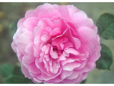 """喜欢月季,不如养盆""""肯特公主"""",开花似惊鸿起舞,阳台美如春天"""