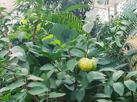 长的像梨,却被叫作石榴,有人还叫它鸡屎果!吃起来得是啥味儿?