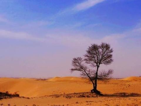 在沙漠中存活了500多年的大树,周围没有任何水源