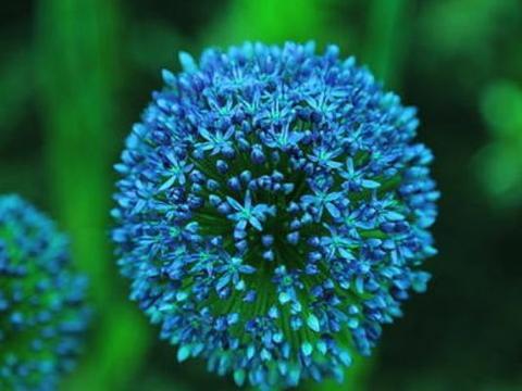 家里养花,不妨养盆大花葱,粉嫩小花挂枝头,满屋花香四溢
