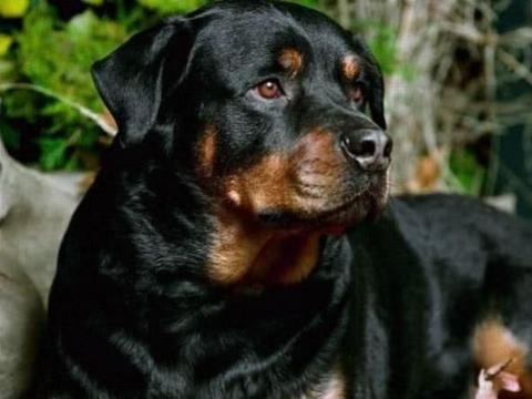 这两种狗狗,绝对是你心目中最理想的护卫犬,快点来pick!