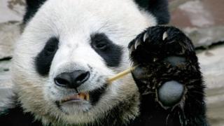 """大熊猫""""创创""""在泰国意外死亡 中国网友怒了!"""